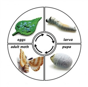 life cycle of silk worm
